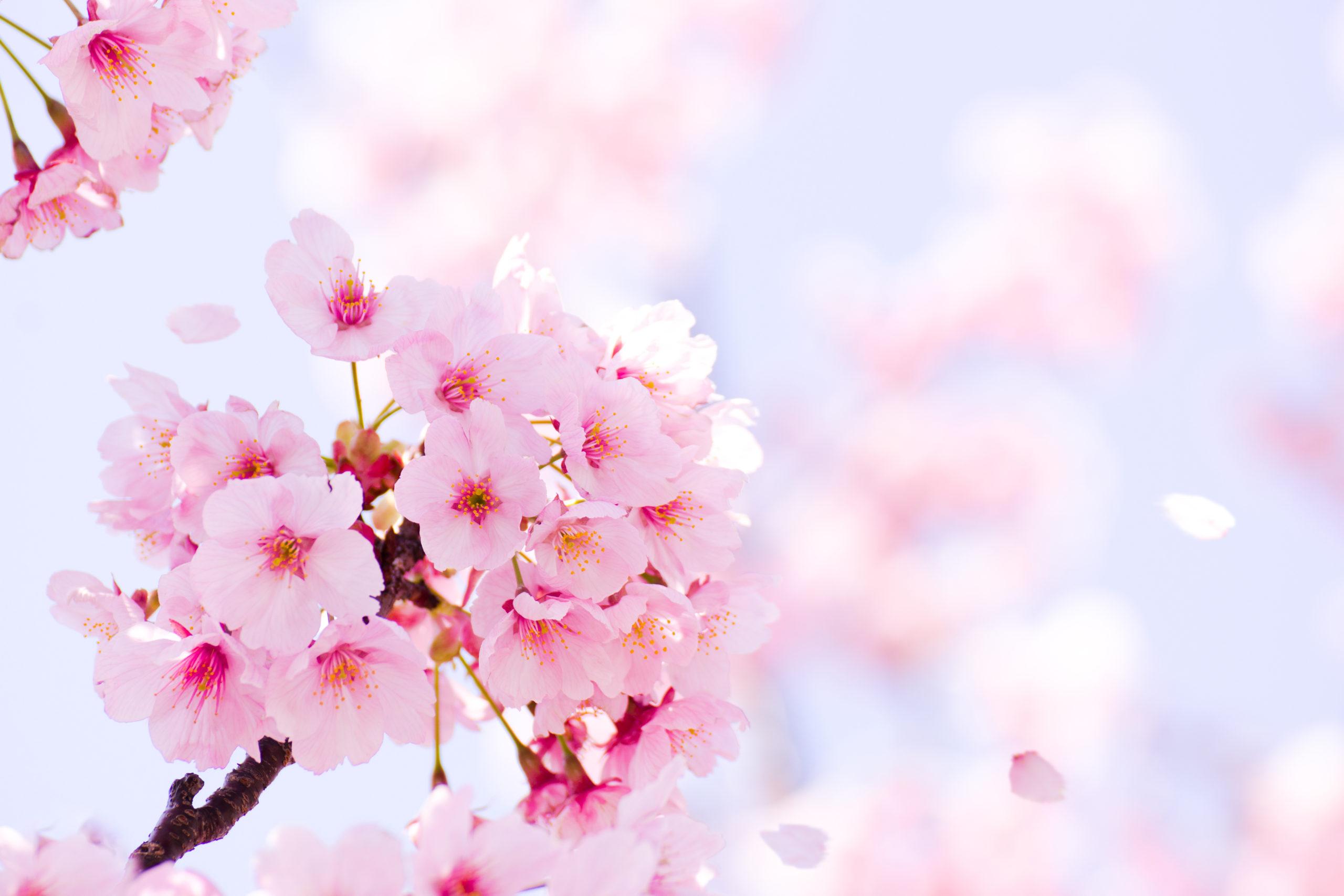 桜の季節が近づいてまいりました